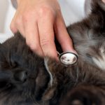 Persian Cat With Veterinarian Doctor At Vet Clinic