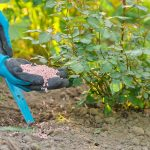 Granules Fertilizer In Hands Of Woman Gardener. Spring Work In G